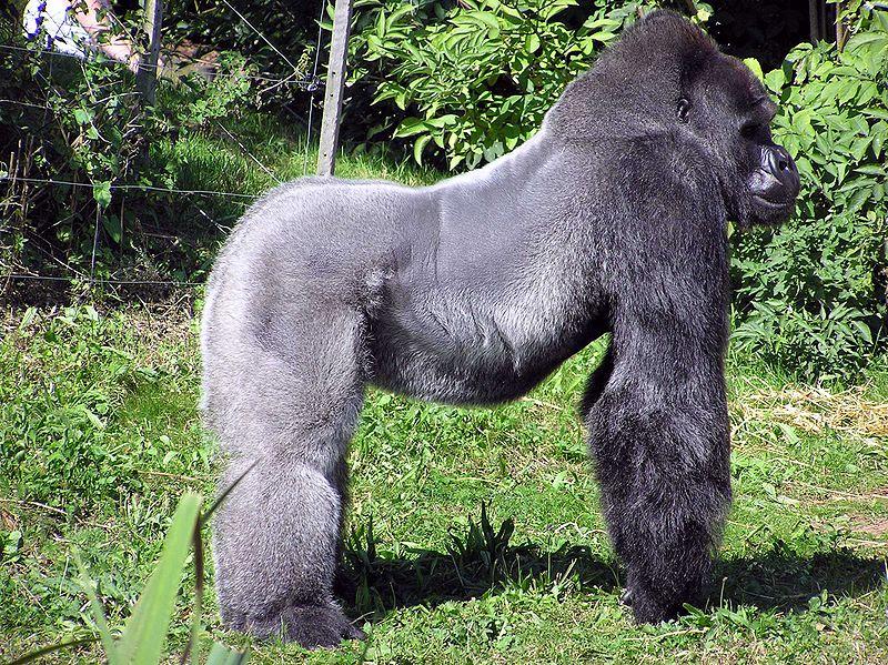 Nyugati gorilla