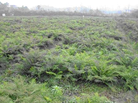 Arzén-hiperakkumuláló növény Kinában