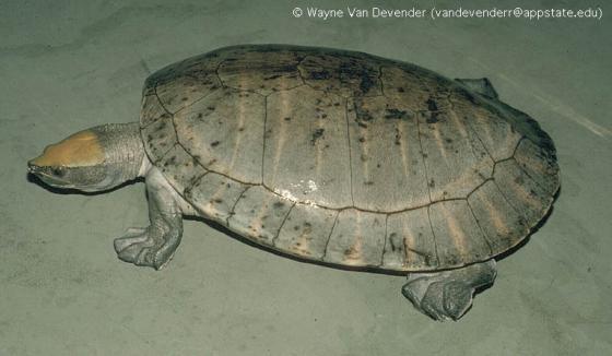 Tabasco-teknős