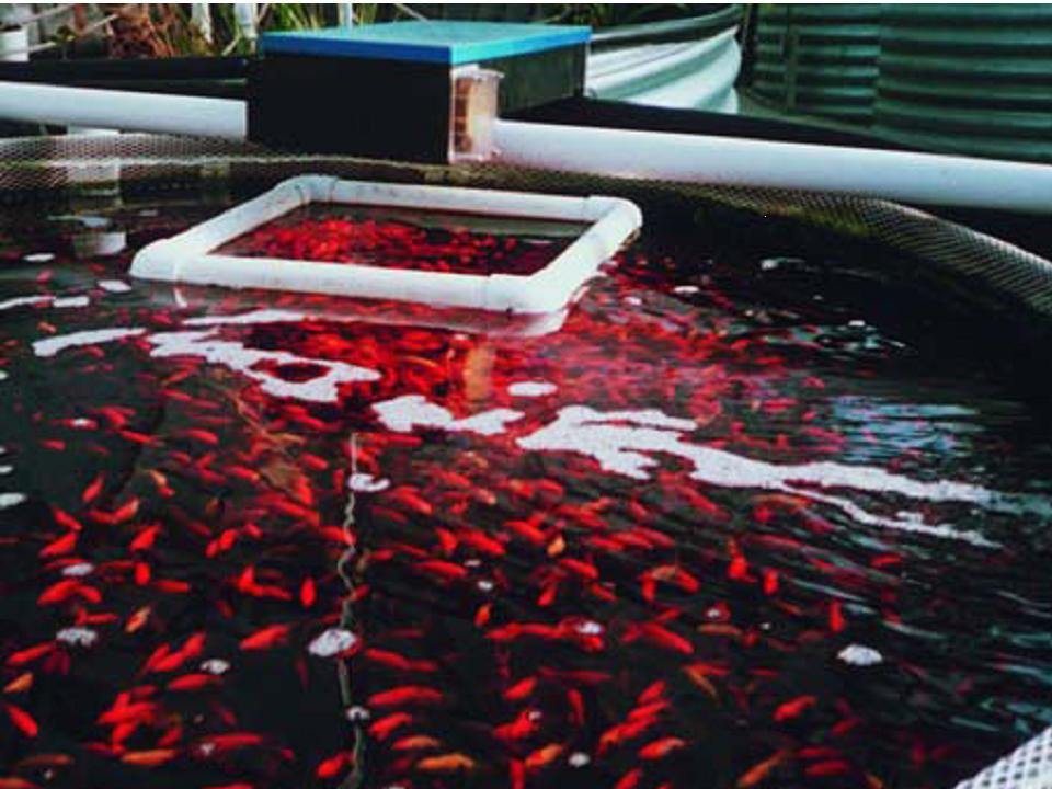 Élőgép, aranyhalak az utótisztító vízterében