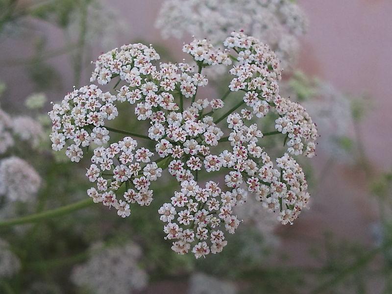 http://en.wikipedia.org/wiki/File:Carom_Flowers.jpg.jpg
