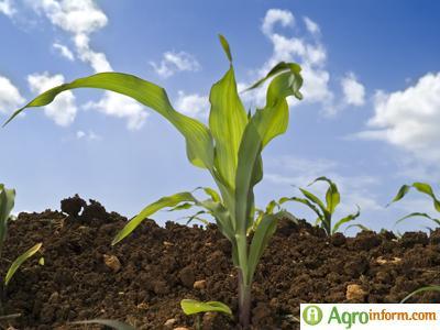 http://www.agroinform.com/files/aktualis/agroinform_20090423074929_kukoricagyomi
