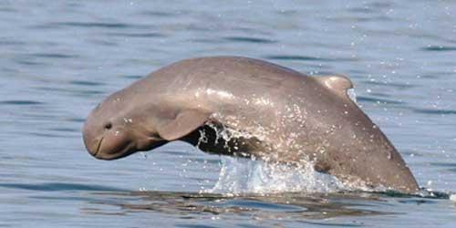 Kúposfejű delfin