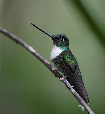 Fekete inkakolibri