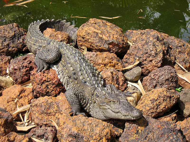 Mocsári krokodil