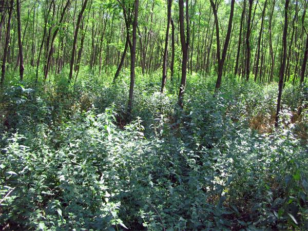 http://www.biokontroll.hu/cms/images/stories/Biokultura/2007/2007-6_csalan.jpg