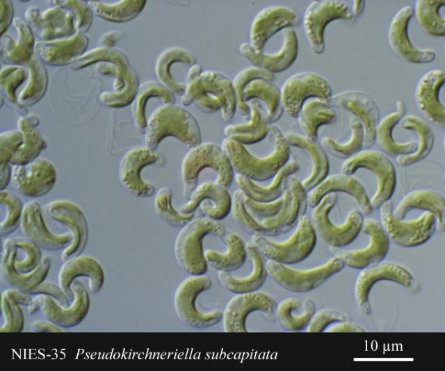 Pseudokirchneriella subcapitata  egysejtű édesvízi alga