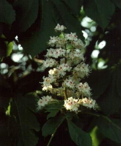 Vadgesztenye (Aesculus hippocastanum )
