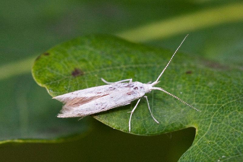 Zsákhordó moly (Coleophoridae sp.)